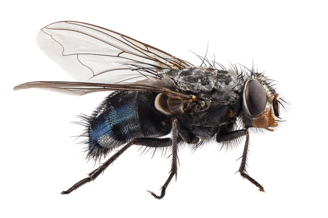 家蠅是一種分布最廣的蠅類,經常性可以在生活的周遭發現它們的存在