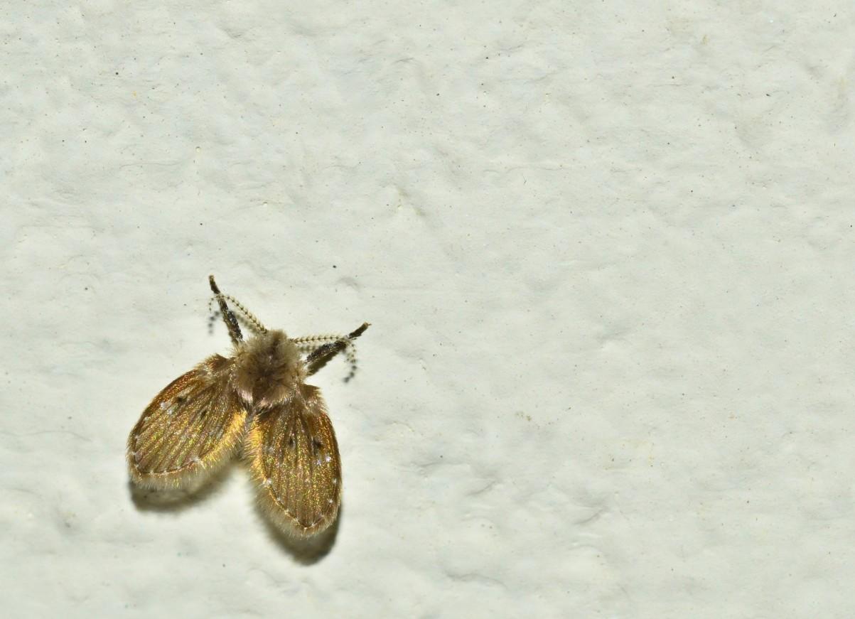 不只攜帶病菌,對人體壞處數不盡! 除了攜帶不少病菌在身,蛾蚋對人類最大的威脅來自其自身。