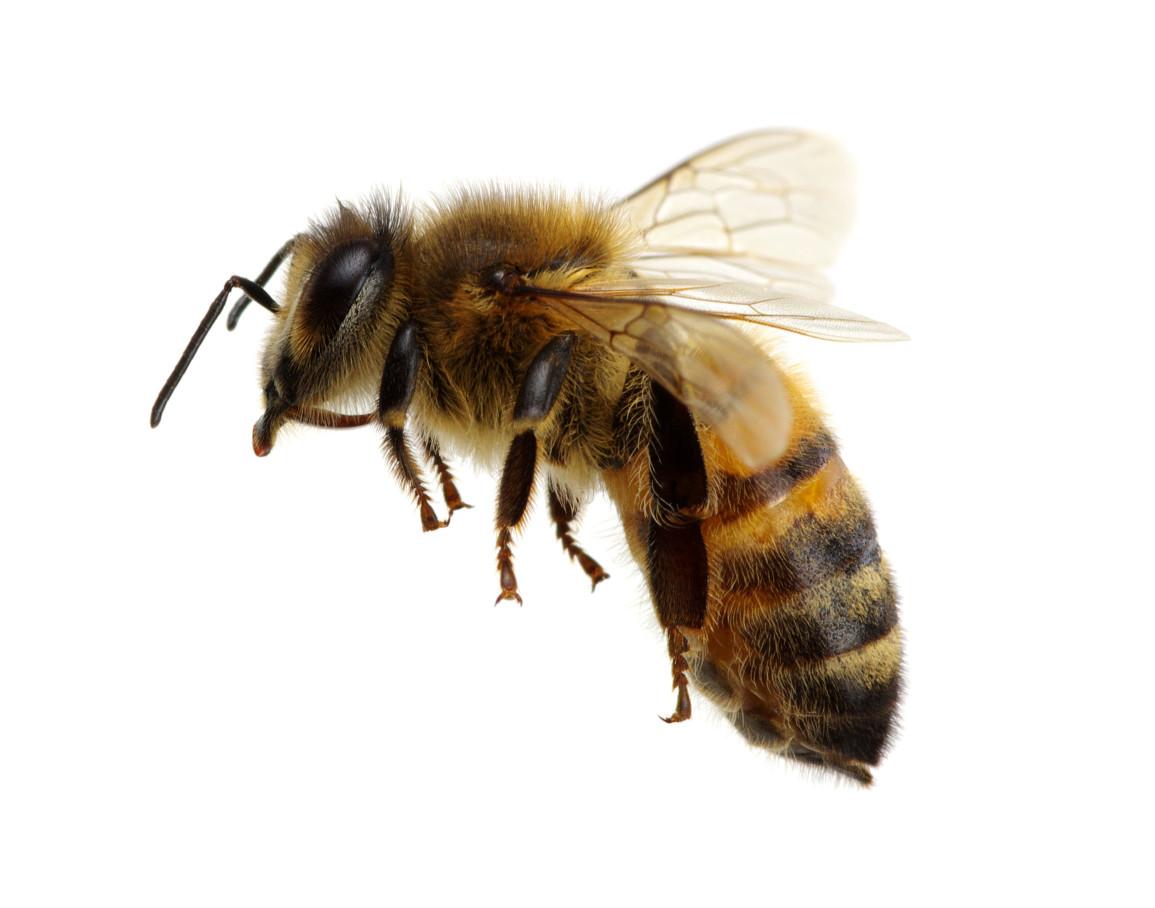 蜜蜂體長約12mm,特徵為上身體毛較長,蜜蜂飛行速度快,最高飛行時速可達40km,如果不對其刺激,它不會主動攻擊。