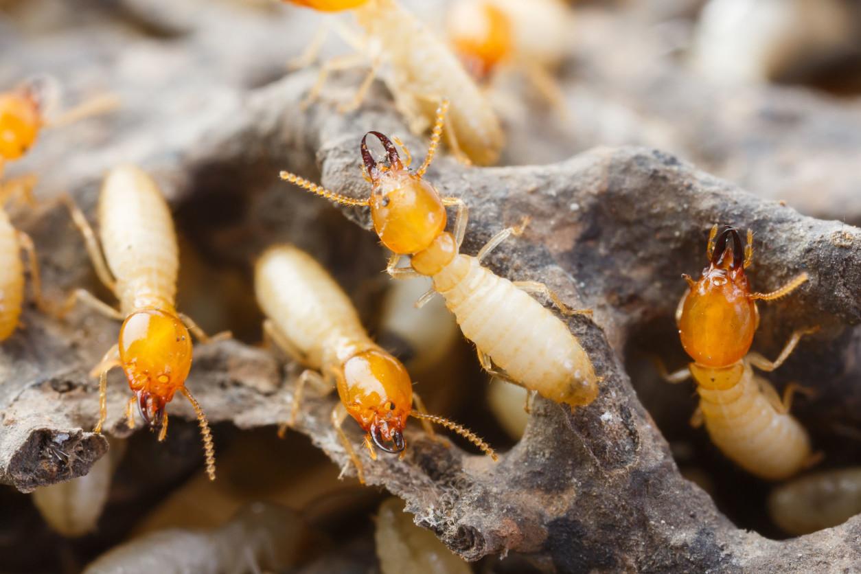 白蟻經常會在木質構件上形成許多密集的空洞,也因此木構件會較脆弱而一壓就破碎.