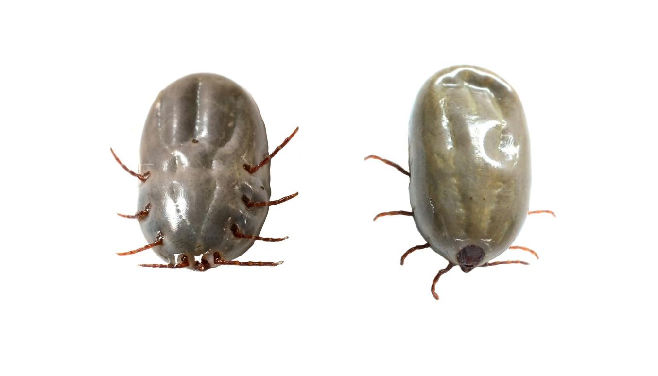 專門吸食狗類血液的害蟲:壁蝨,關於壁蝨相信有養寵物的人都不陌生,牠們又稱作「牛蜱」、「牛蝨」、「壁蝨」或「狗蝨」,基本上沒有什麼天敵存在,專門吸食狗狗的血液,吸飽血後全身會鼓起變大。