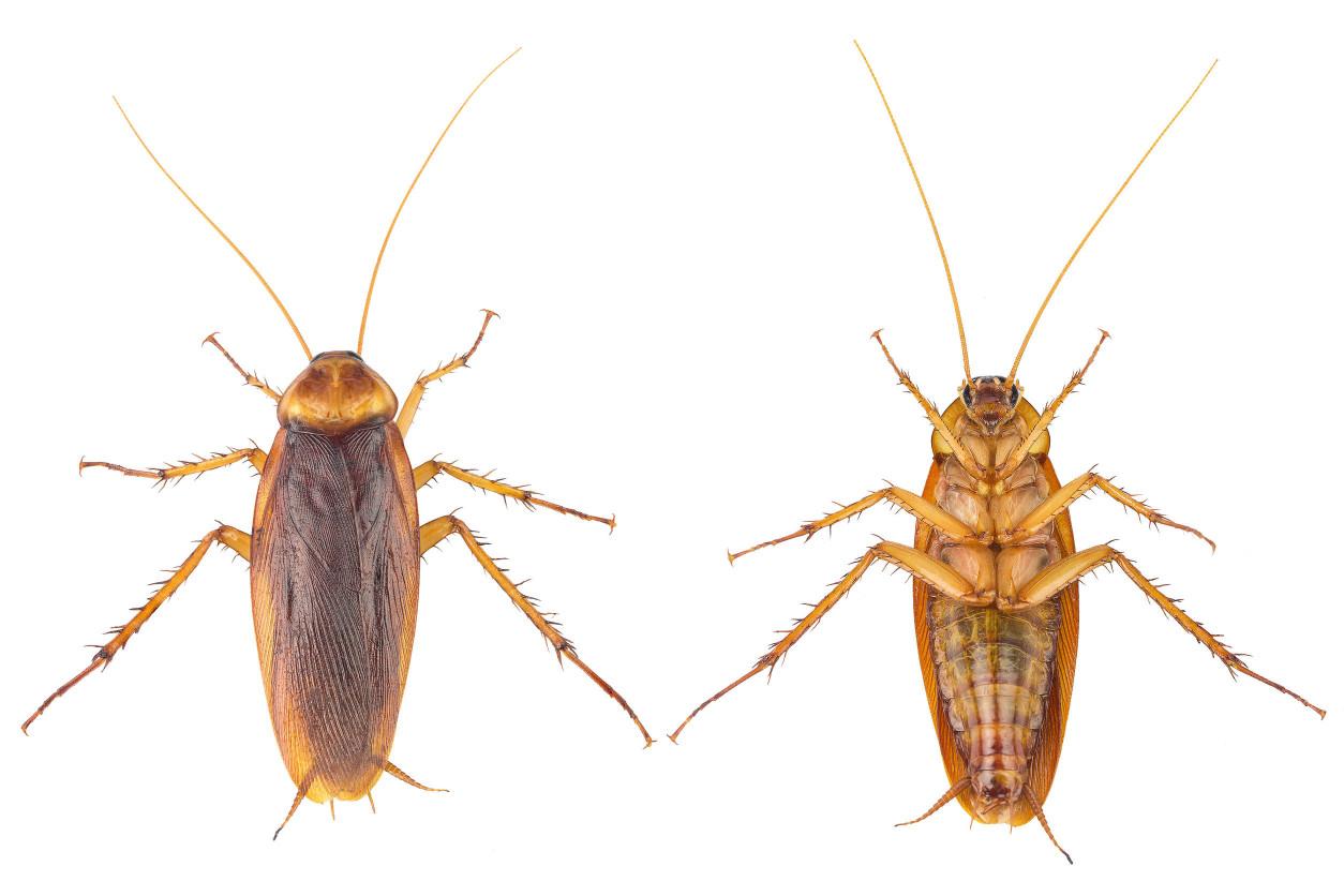 據說遍佈全球的蟑螂,美洲蟑螂敢說第一,一定沒有其他蟑螂敢說第二