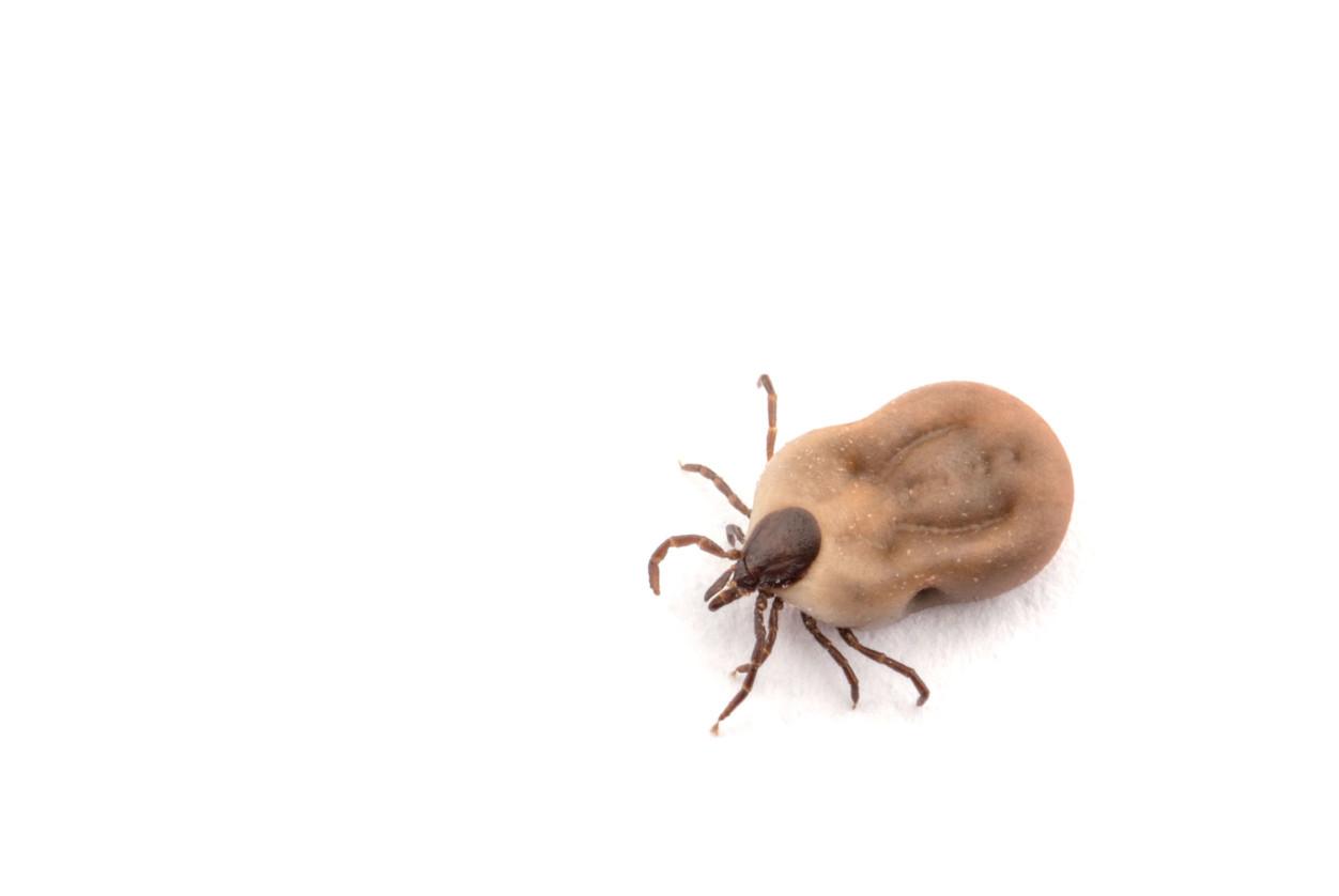 壁蝨屬於蜱類,有八隻腳,與蜘蛛同屬蛛形綱,蜱類依據成蟲軀體背面硬盾板的有無可分為「硬蜱」、「軟蜱」兩種,常見於犬隻身上的多是「硬蜱」,包括血紅扇頭蜱、二棘血蜱和長角血蜱等。