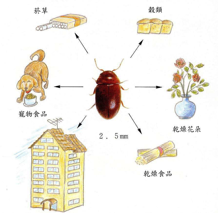 煙甲蟲成蟲呈咖啡色,體長約2-3mm,頭部胸部緊密連結,長著一雙黑色的大複眼,外型接近球形,因而被某些人認為外表可愛討喜。成蟲有飛行能力,外殼堅硬,遭受威脅時總是「裝死」。