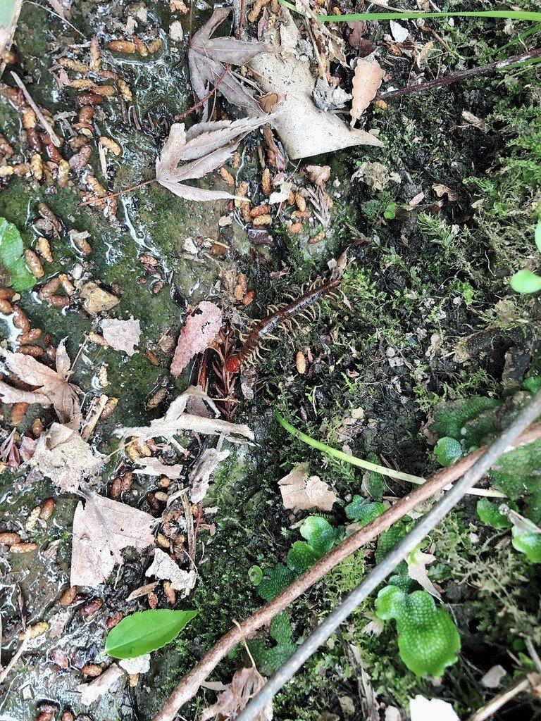 蜈蚣都躲在這些地方!由於蜈蚣體表缺乏鎖住水份的蠟質,因此需要棲息在潮濕的地方,如果在野外,蜈蚣白天大多躲在土壤、落葉堆、石頭與腐木下,以減少水分散失,到了晚上則會出來補食。