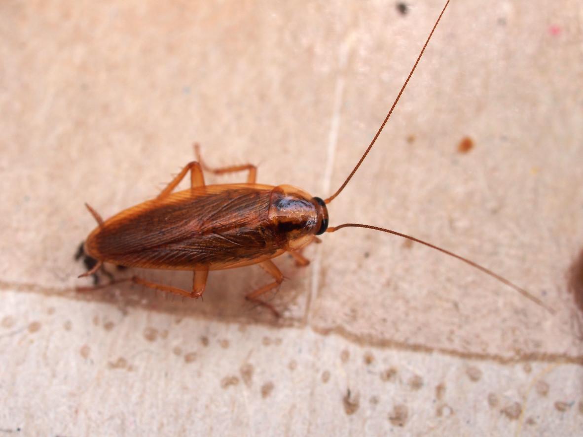 家裡德國蟑螂肆虐,每天到了晚上可以看到恐怖的小蟑螂,殺蟲劑似乎都沒什麼用處,只好找專業的除蟲公司,一次就搞定.