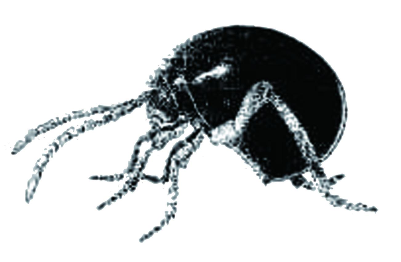 你或許曾在廚房角落、食品包裝袋中,看見這樣深棕色、長著長長的腳、背著大頭盔的小蟲子,又因為牠們外型酷似蜘蛛,而以為自己遇到蜘蛛了。可不要以為牠體型小小的,應該沒什麼威脅,沒什麼大不了的,牠們是惡名昭彰的積穀害蟲「蛛甲」。