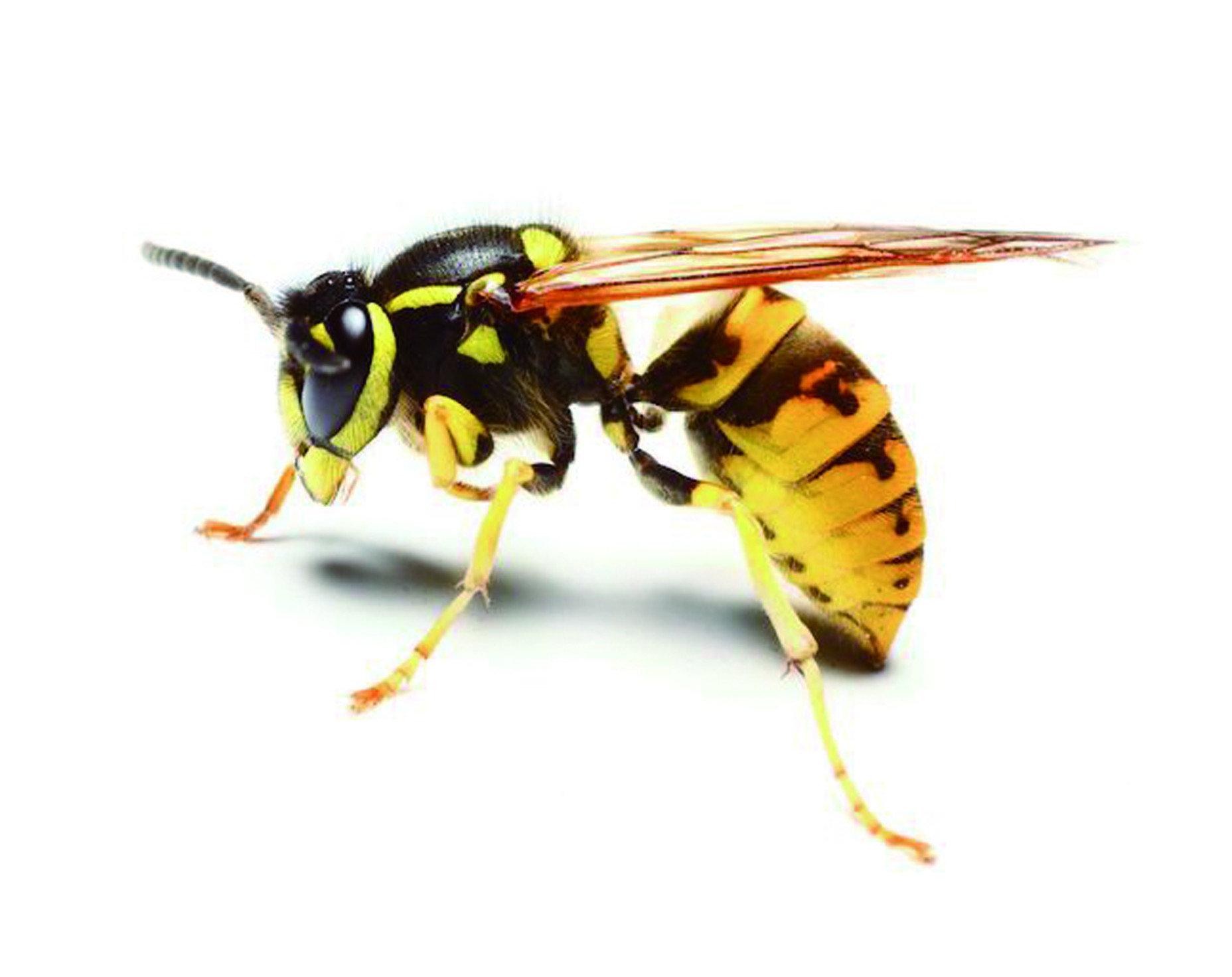 黃腳長蜂:又稱作「陸馬蜂」,體型大約落在1.8~2.3公分,相較於一般養蜂會出現的蜜蜂來講,身形顯得相當大。再加上黑黃相間,極為顯眼、亮麗的外表,顯得更為嚇人,經常被誤會為虎頭蜂。