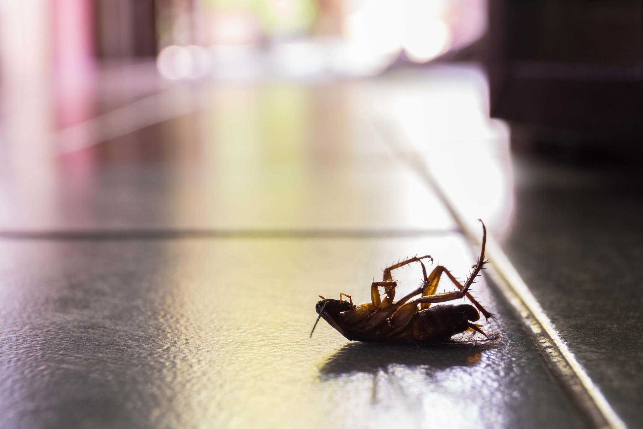 常有人說「打不死的蟑螂」,可見蟑螂的生命力之旺盛與人類對其的討厭程度。蟑螂繁衍的速度令人驚艷,最大的原因在於蟑螂「孤雌生殖」的能力,意思是即便只有一隻母蟑螂存在,牠仍舊可以複製自身的基因,產下出幾百隻的母蟑螂。