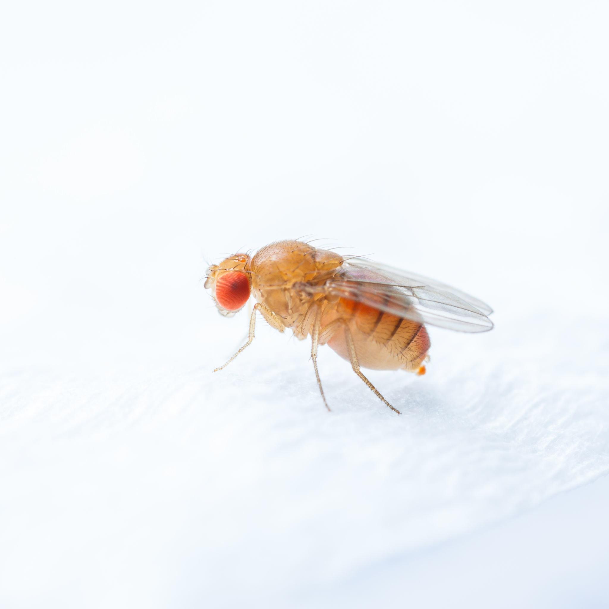 惱人的果蠅,經常會出現在水果週遭,但是它們其實也喜歡各種醣類與腐爛的食物