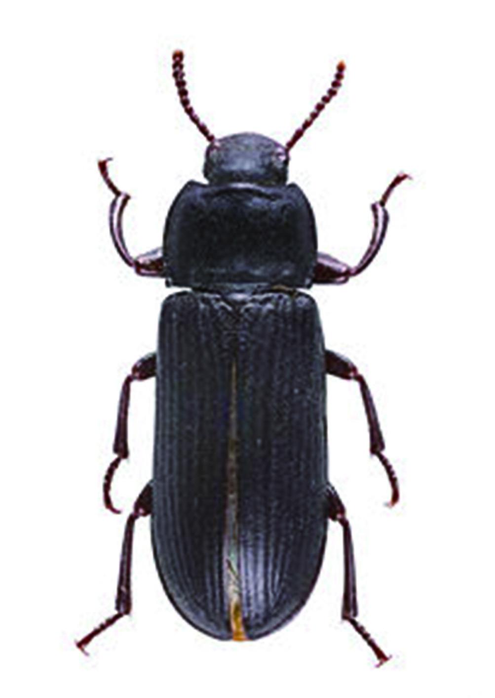 麵包蟲的幼蟲可能隨著腐食、麵粉類物品被帶入室內,成蟲也能經由門窗飛入室內,不消多久,就可能在室內看到許多小甲蟲到處爬行,偶爾四處飛行,置之不理的話,很快就會越來越多,蔓延到家中各個角落。