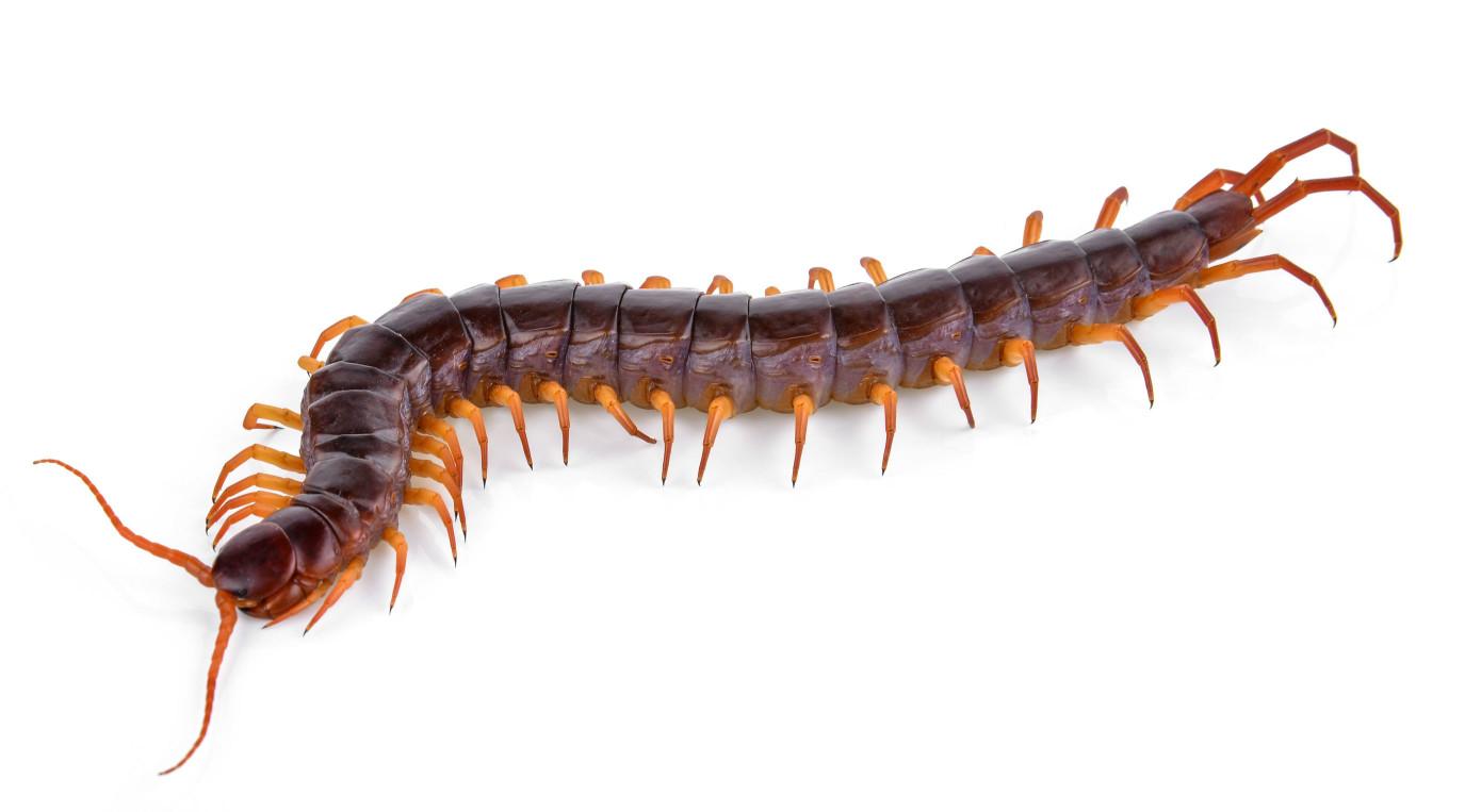 【除蜈蚣】蟑螂出現跡象之一,土壤中潛伏的蜈蚣,遭咬後劇痛難忍 !!