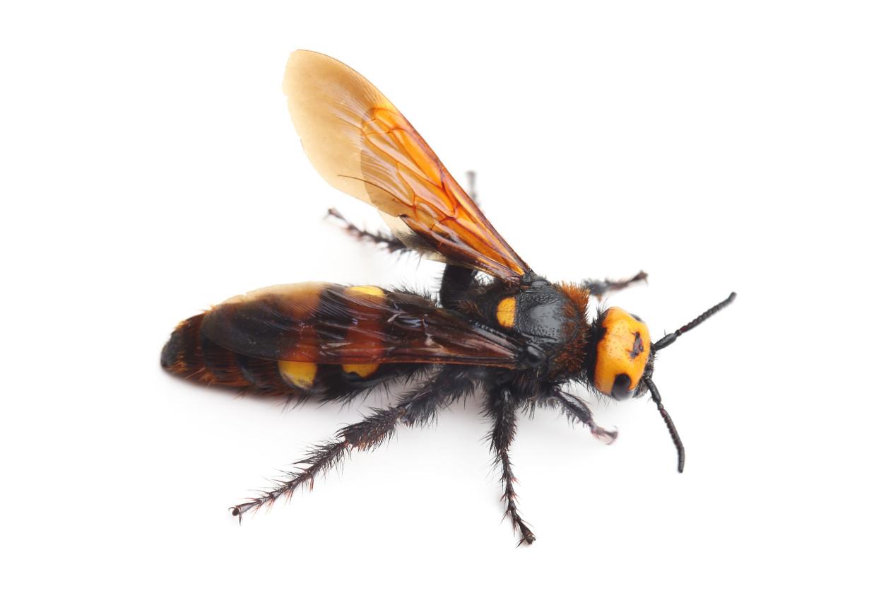 黃蜂是小型的,但是大黃蜂是大型的,體長有4cm左右的大小。蜂王的尺寸比那個還大。