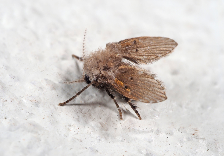 蛾蚋經常出現在下水道的蠅類,毛茸茸的外觀,因此我們也稱蛾蠅