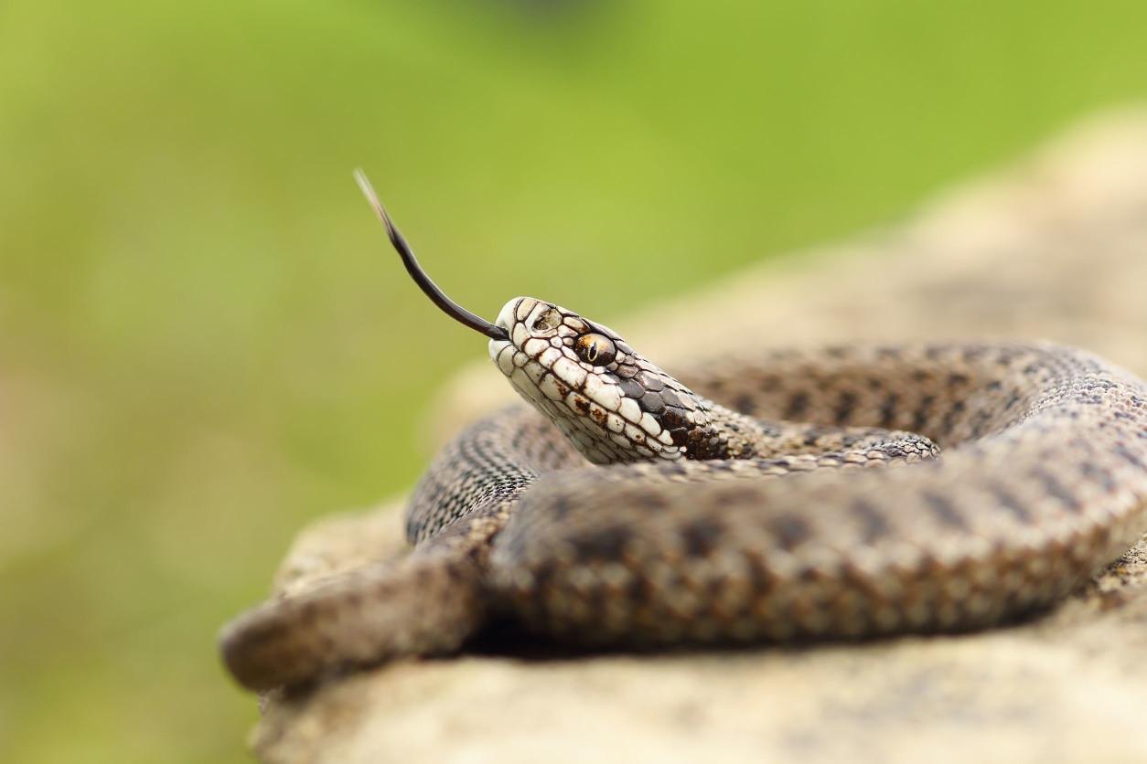 當今的3000多種蛇類都有很長且缺少四肢的身體,優遊於陸地和水中,甚至穿梭於半空中的樹枝之間。