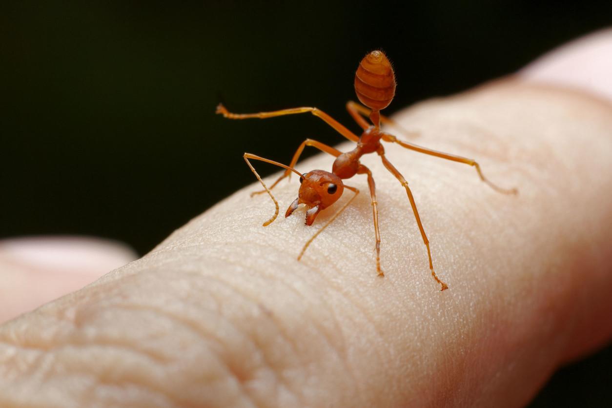 『紅火蟻』強大的外來物種,咬人超疼