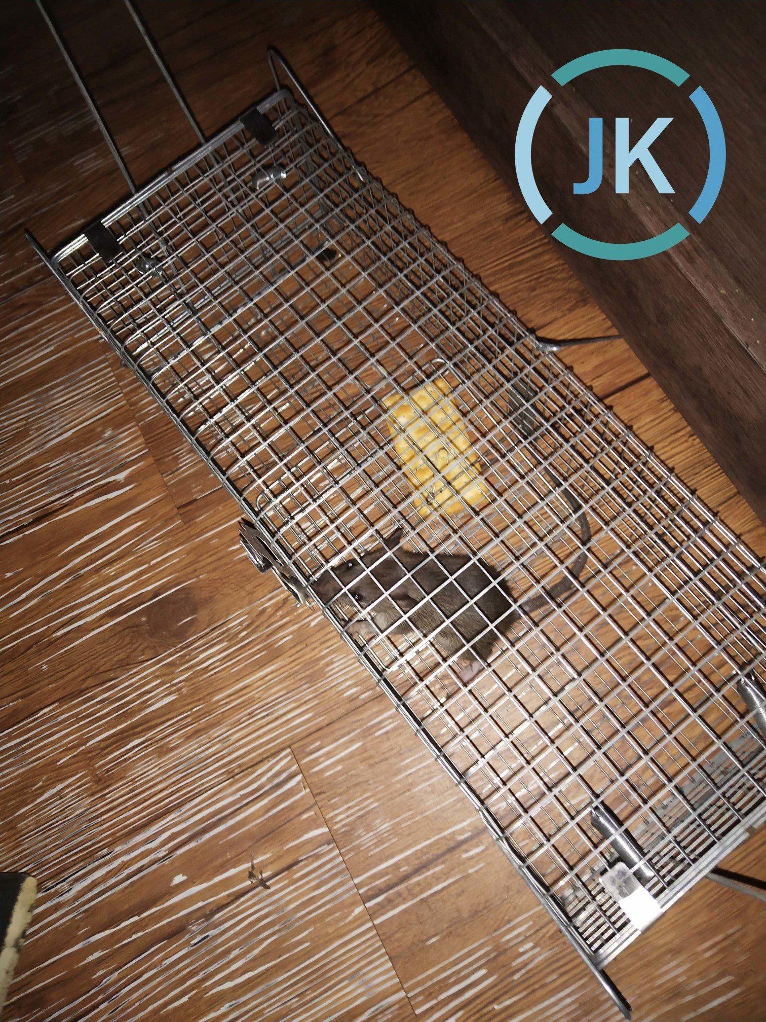 設置約一星期後,發現老鼠已經捕獲