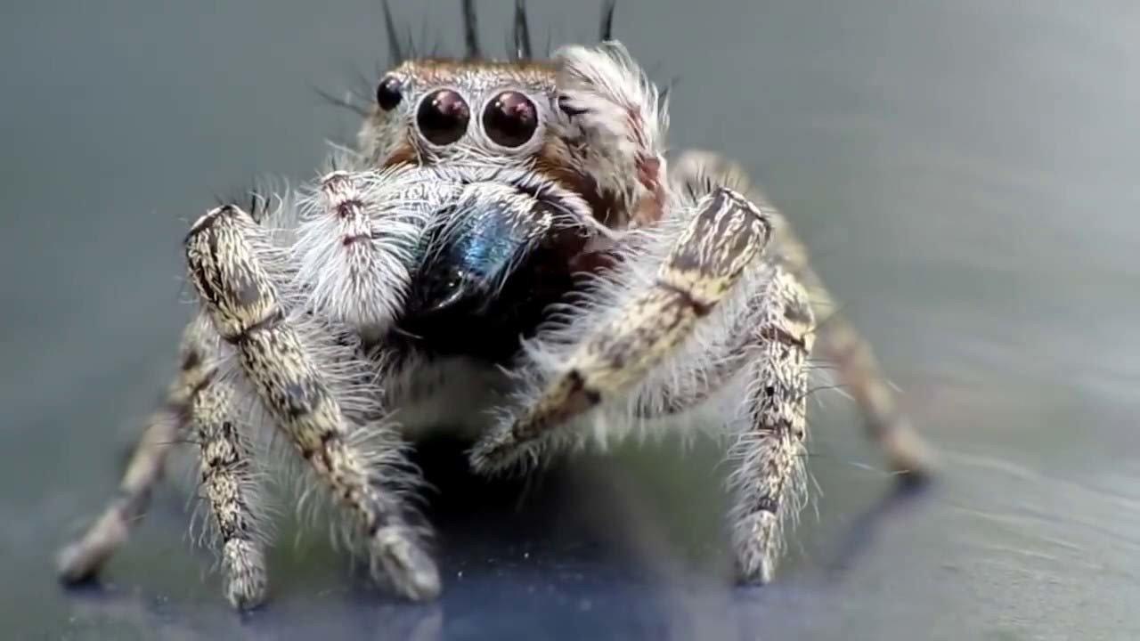 你一定曾在家中見過蜘蛛,因為蜘蛛多半出現在未打掃的角落,還能發現積滿灰塵、破裂的蜘蛛網,使得蜘蛛常被列為居家害蟲。但你或許不知道,因為蜘蛛具有八隻腳、兩個體段, 並不符合昆蟲六隻腳以及身體分為頭、胸、腹三節的定義,所以蜘蛛並不是一種昆蟲。