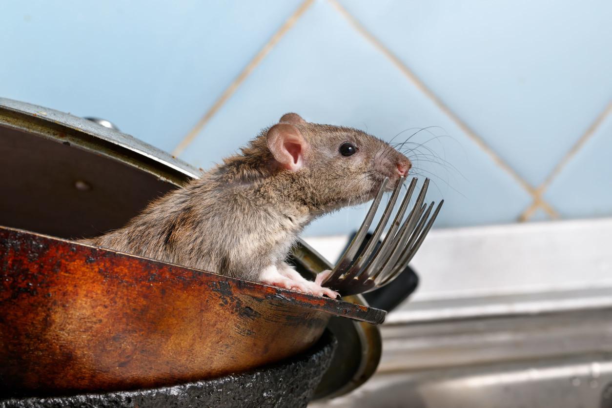 在台灣常出現會危害生活環境的老鼠大致上有三類,分別為「溝鼠」、「屋頂鼠」、「家鼷鼠」。