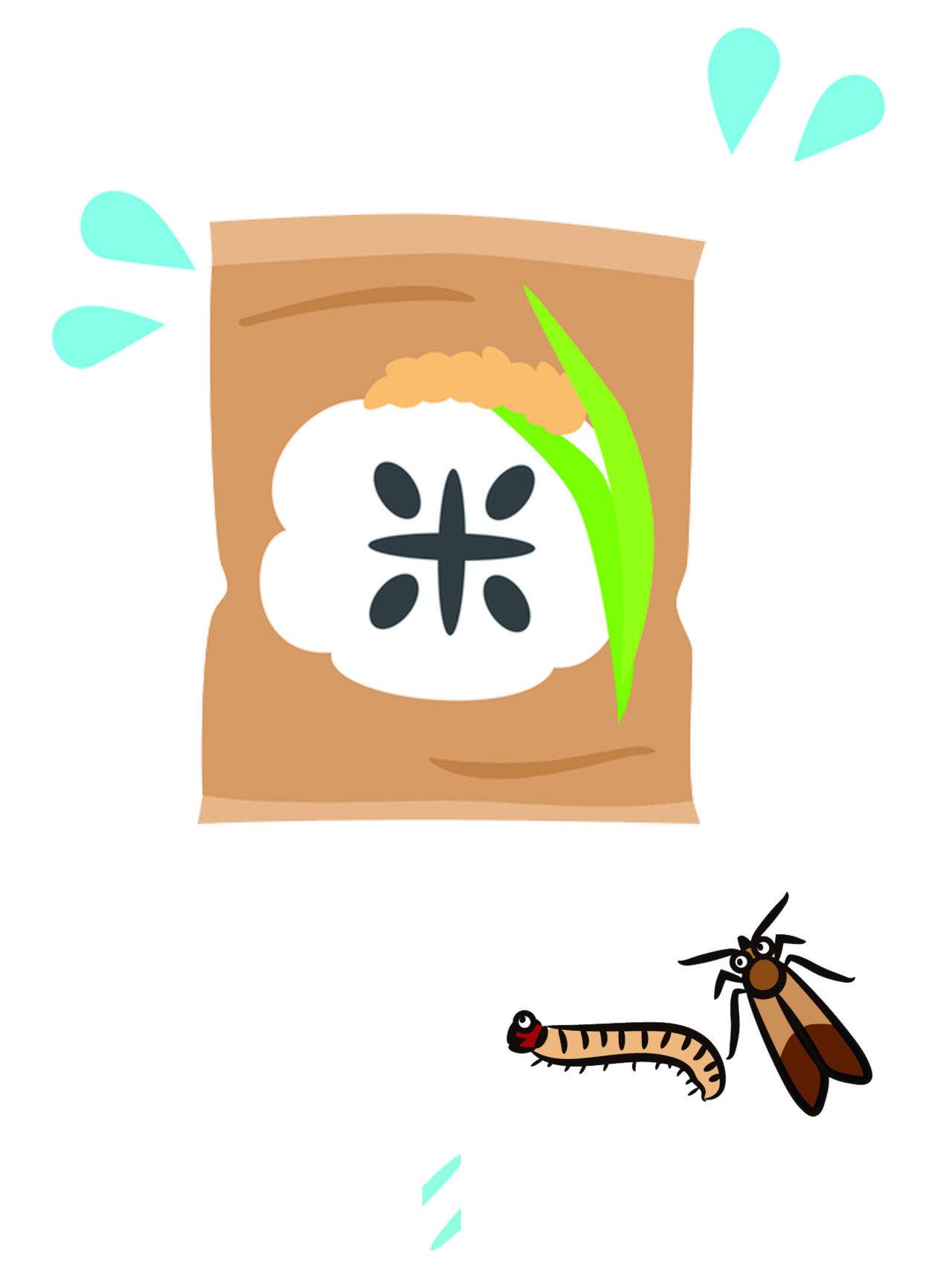 印度穀蛾的卵呈乳白色長橢圓形,一端呈微尖狀,只有約 0.3 mm 大小,表面略帶光澤。卵一旦孵化,幼蟲就會開始取食牠們周圍的食物,受污染的東西通常會留下帶有絲綢般的織帶,是牠們吐絲的痕跡。