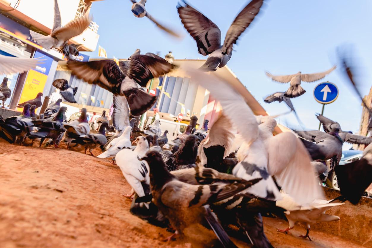 鴿子經常會成群結隊飛來,經常會因為它的叫聲和翅膀拍打聲,妨礙人們的睡眠.