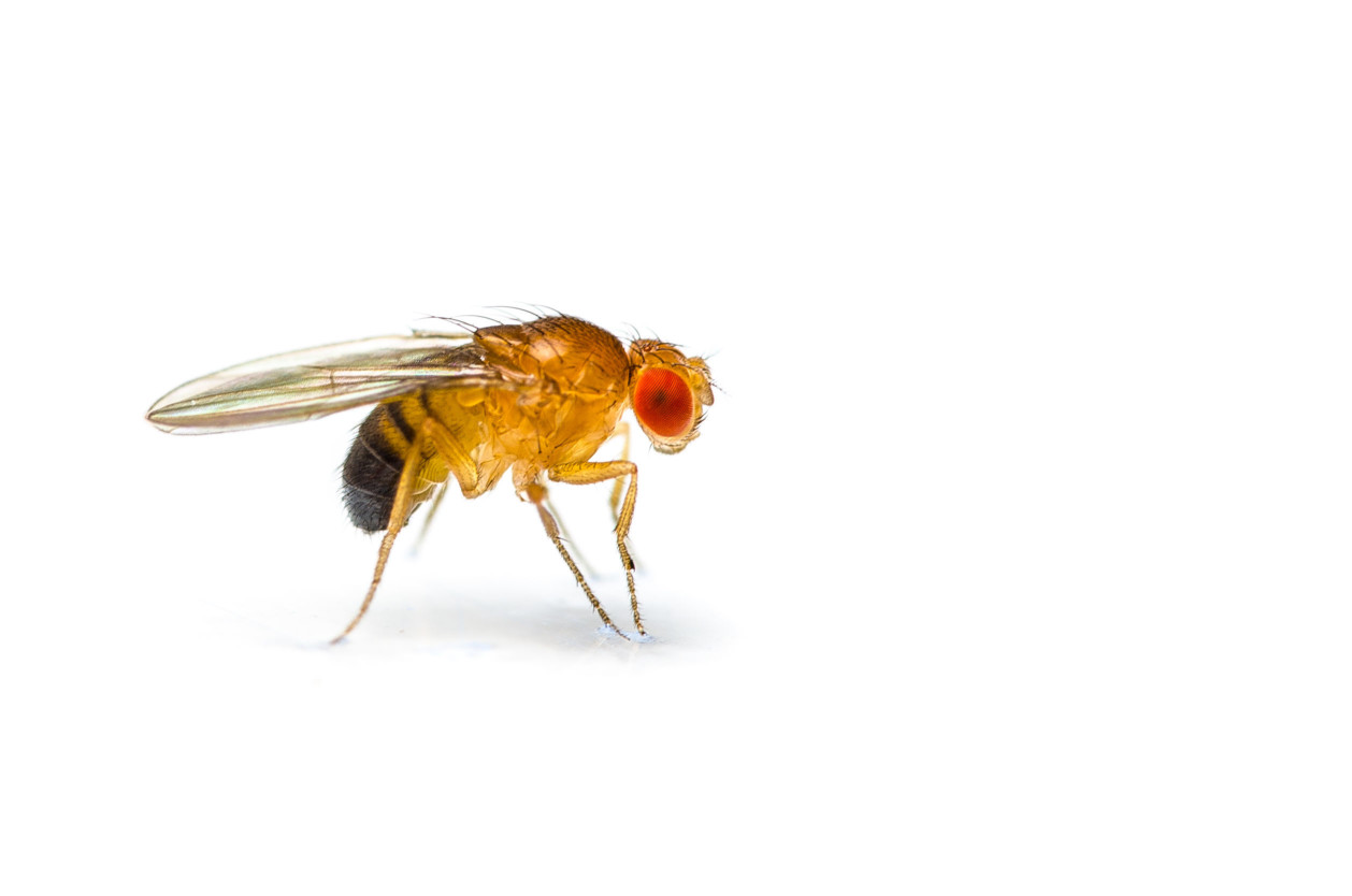 兩者最大的不同在於,果蠅喜愛的是農產品,而蚤蠅則喜愛糞便與動物屍體,因此出現在廁所的多半屬於蚤蠅。然而不管哪一種小蒼蠅的出現,其實都必須加以防治,避免繁殖力極強的蒼蠅四處產卵,最終無法收拾。 潔肯除蟲公司