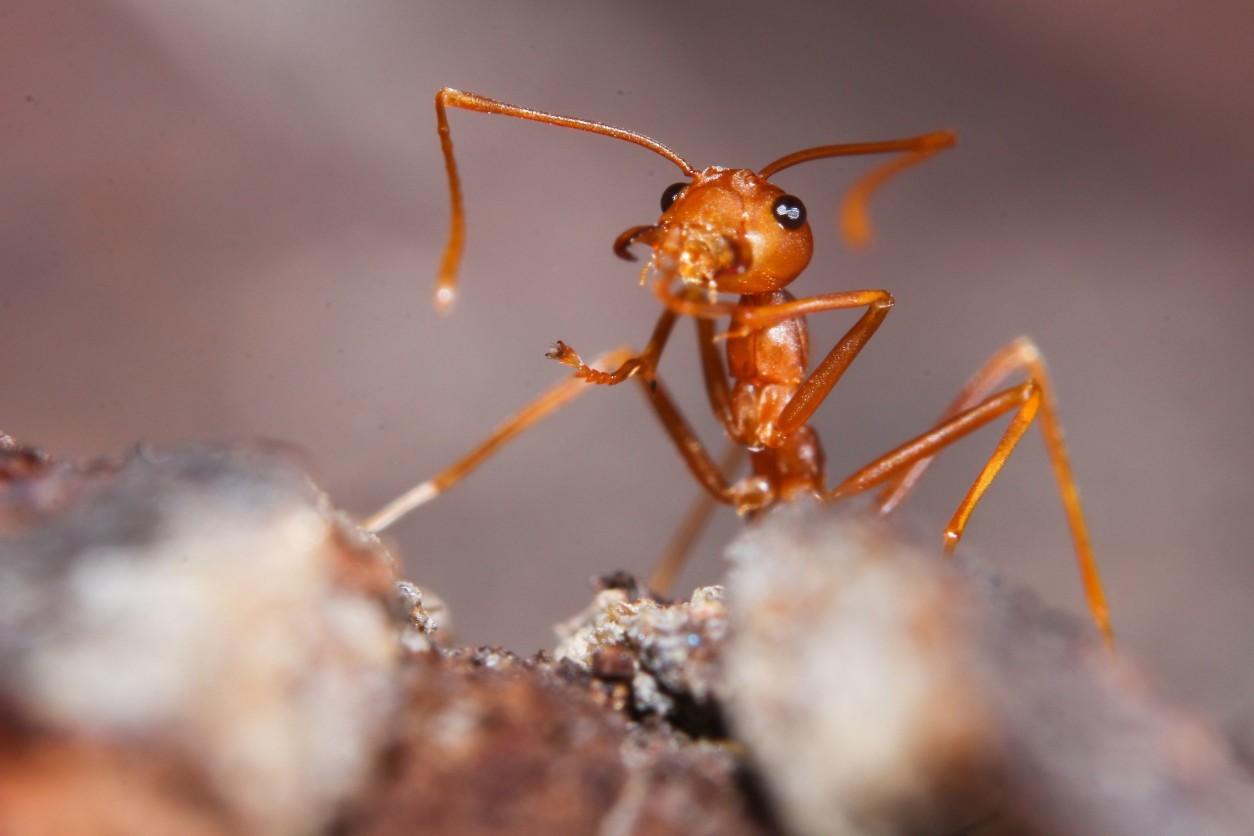 紅火蟻危害具有毒螫針,毒性強、侵略性強,個性凶暴、群體可集結成球,漂浮在水上數月不進食、可同巢繁殖。