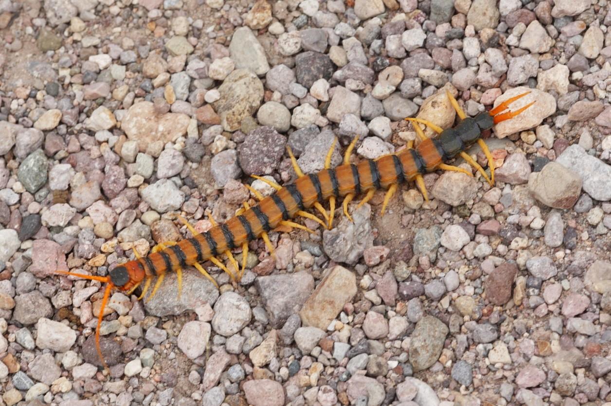 蜈蚣最小的有一公分長,十二對腳;最大的將近三十公分,有一百七十七對腳。少數有複眼或幾個單眼,多數都沒有眼睛,而是利用頭上的那對觸角,摸索前進。