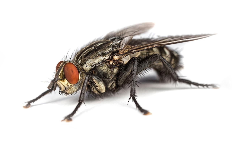 肉蠅特徵體長10 - 12 mm,體色灰或淺棕色與黑色交雜,前胸背板通常有3條黑色縱帶斑紋,腹部斑紋略呈格狀,複眼通常為紅色,觸角為不正形,末端具芒刺。