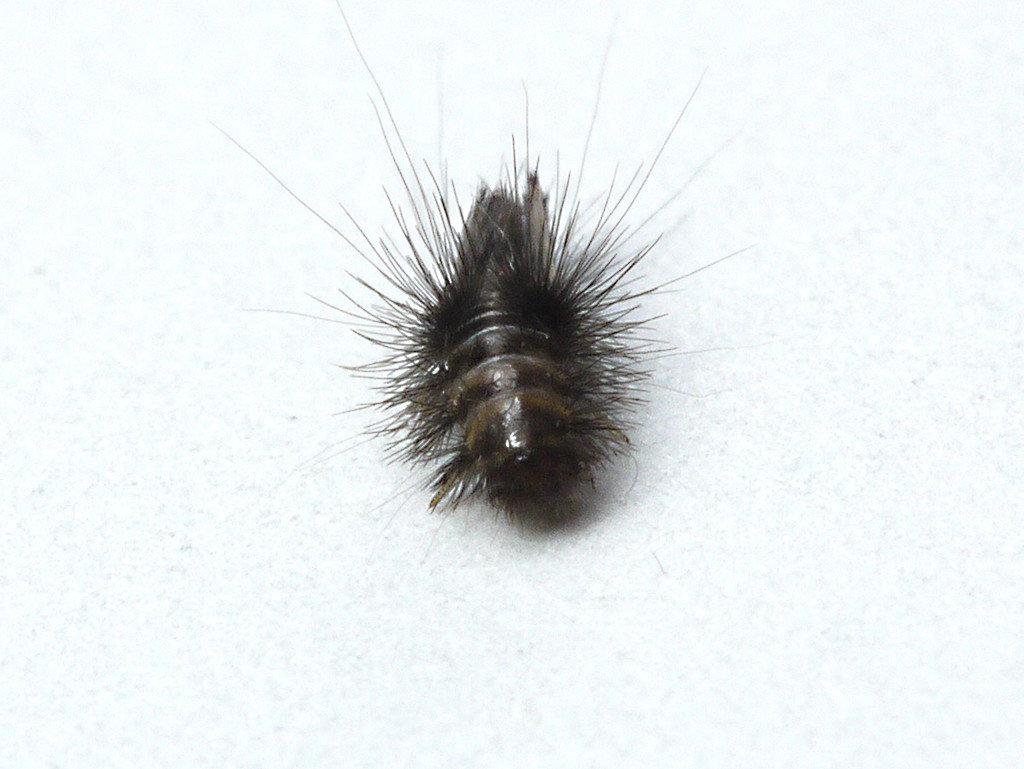 【除皮蠹】紡織品的重要害蟲,該如何預防控制 !
