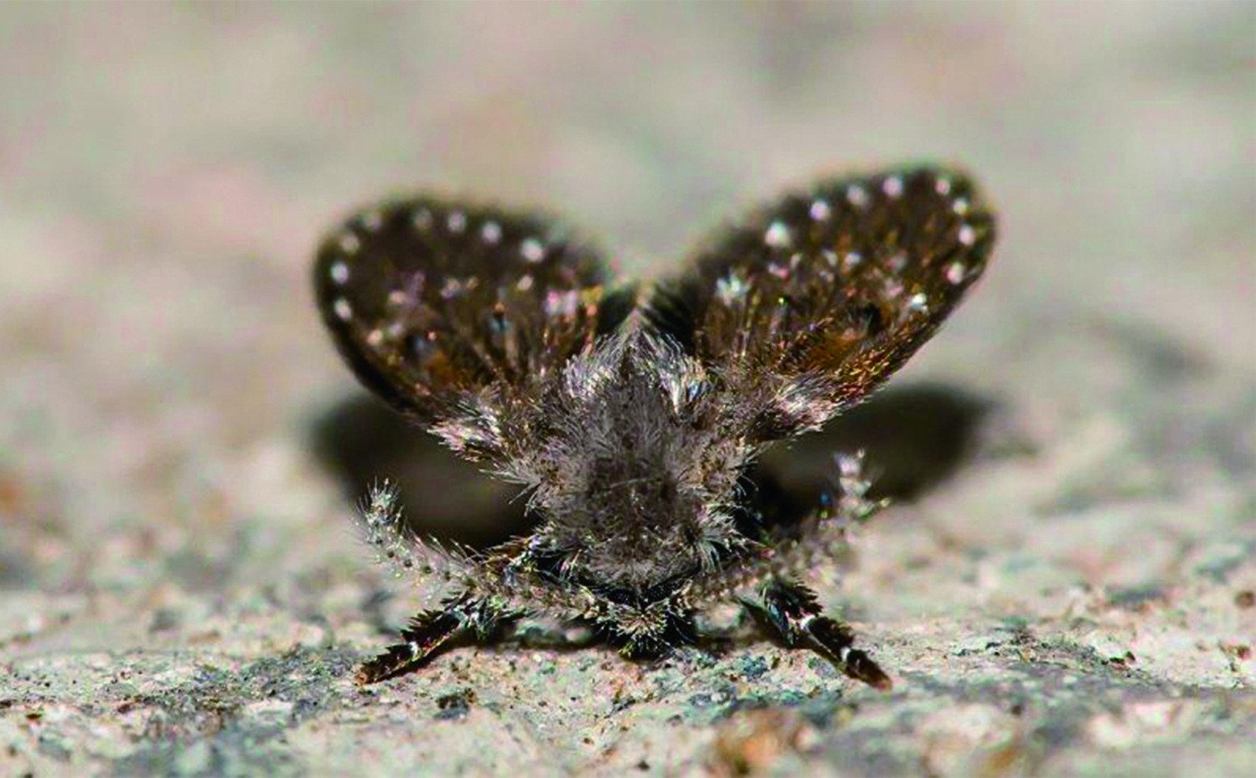 蛾蚋的身軀光滑,佈滿纖毛的牠可能攜帶大量細菌甚至病原體。如果飄落在食物、器皿上,更是直接威脅人類健康。甚至在室內的蛾蚋死亡後,屍體風化分解混入塵埃,體質敏感者吸入,可能引起氣管過敏、哮喘等過敏症狀。