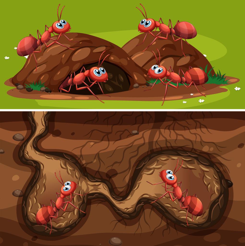 紅火蟻的工蟻體型具連續性多態型變化,且依體型大小不同,完成發育的時間也有差異。由卵發育至成蟲所需時間,小型工蟻僅需20~45天,蟻后及雄蟻則需半年。