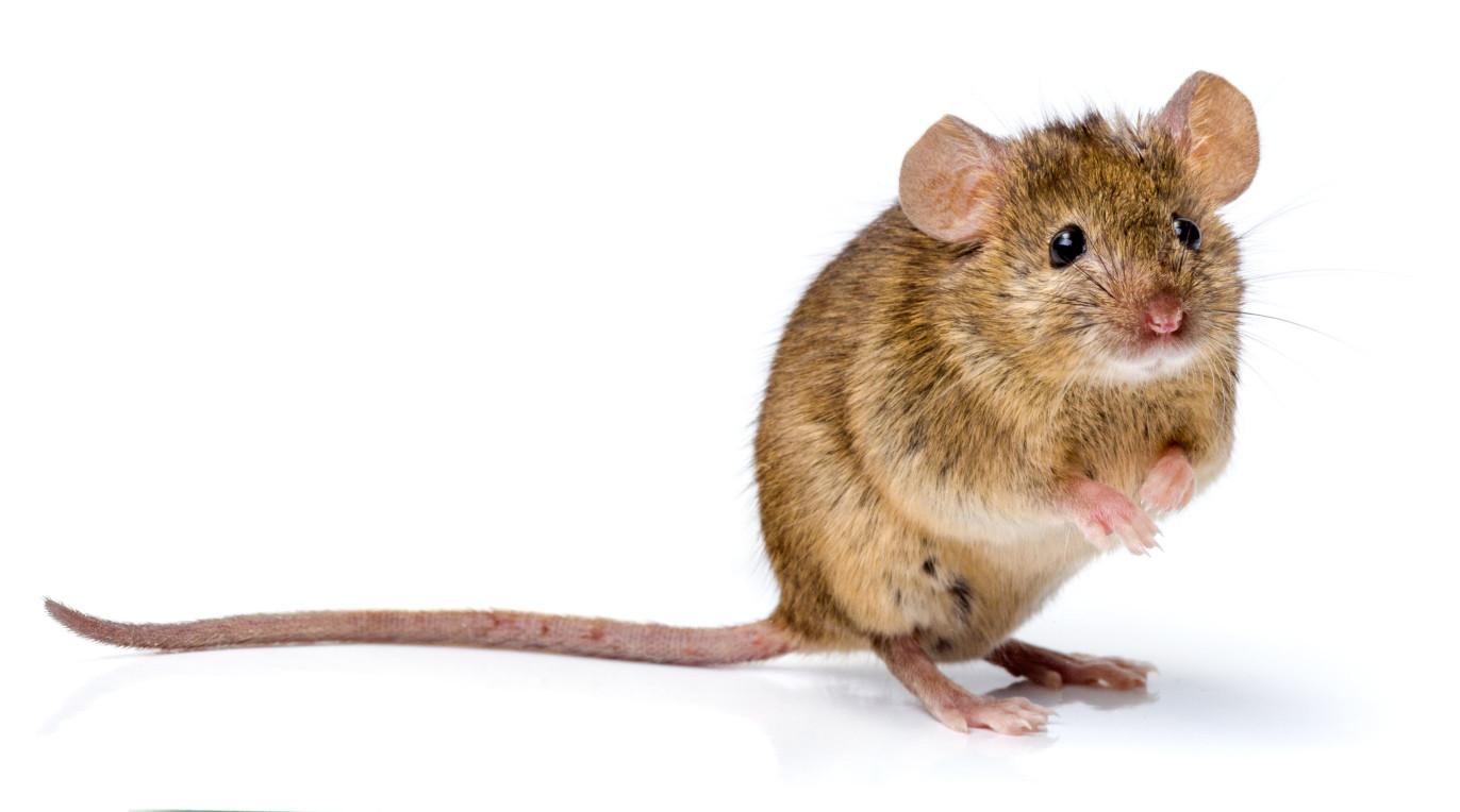 月鼠特徵頭軀幹長約6-9公分。為普遍的台灣特有種。耳殼具毛且薄,體背及體側灰褐色、腹部灰白色,有明顯界線。