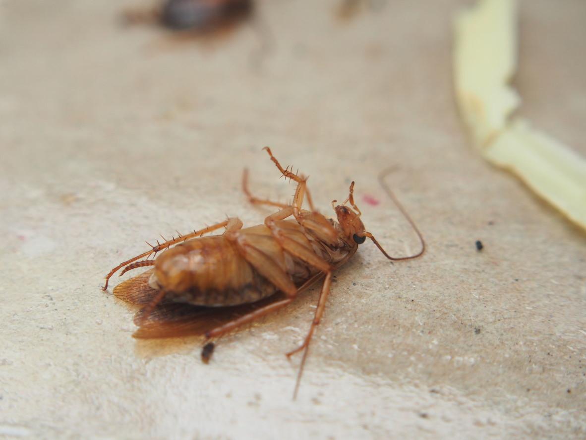 據說蟑螂這種令人感到討厭的害蟲,大約在一億年前的白堊紀就存在