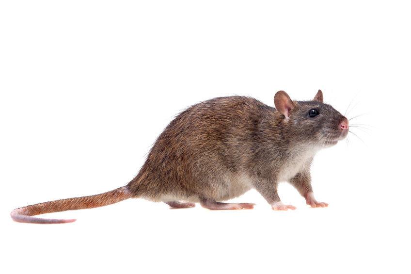 溝鼠居住在都市的下水道,市場,倉庫等處,身體經常潮濕,因此採用捕鼠陷阱經常捕抓不到.