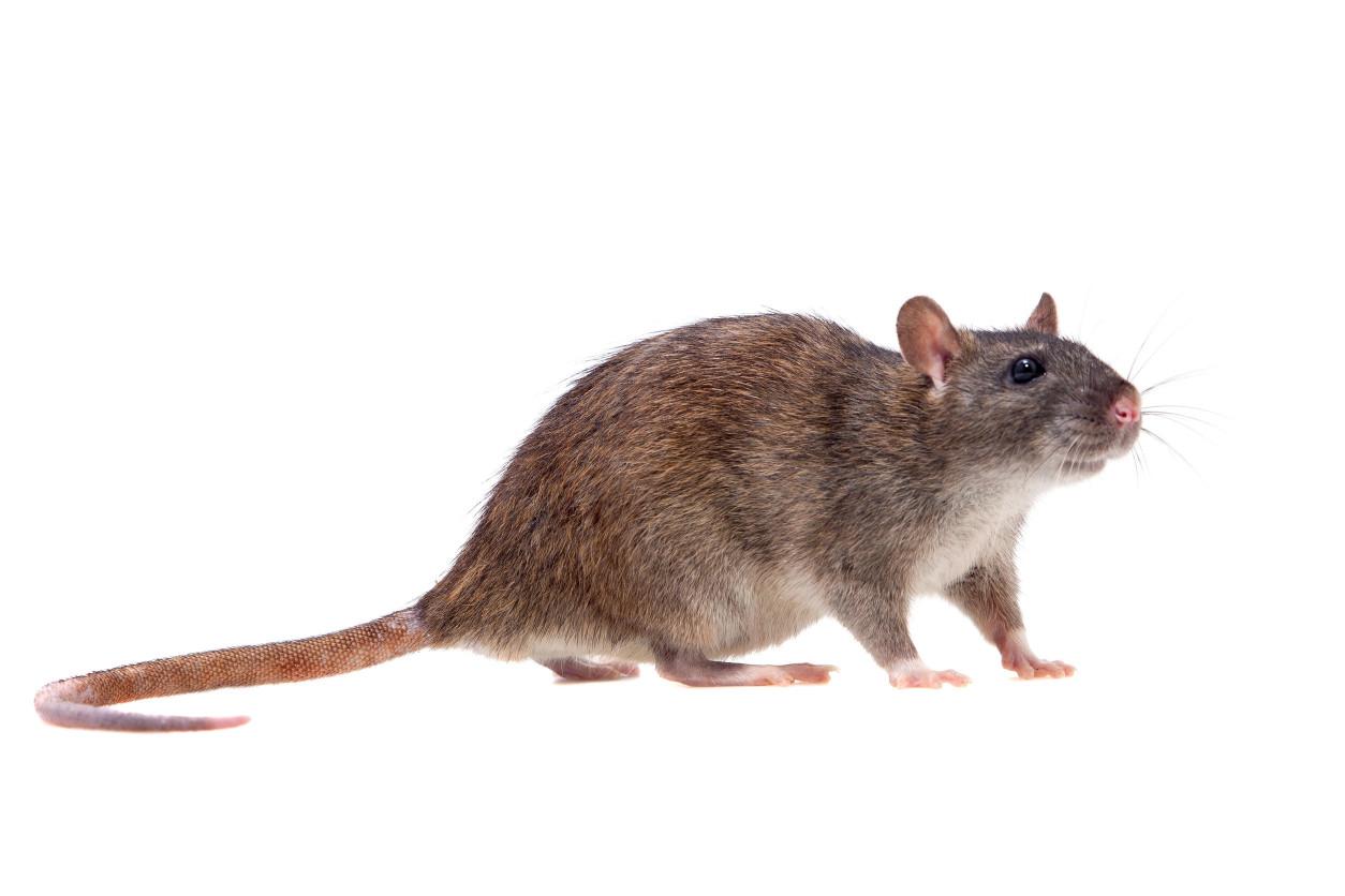 褐家鼠,又名褐鼠、大鼠、挪威鼠、大家鼠、白尾吊、耗子、糞鼠、溝鼠,為鼠科家鼠屬的動物,是有名及常見的老鼠之一,也是之中最大的物種,一般生活於田野、家舍廣泛棲息。