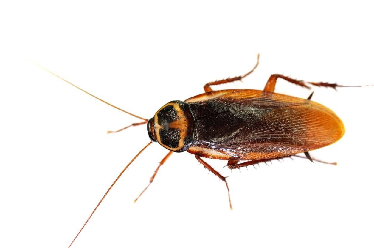 強行無阻蟑螂,澳洲蟑螂經常在居家的周遭,例如排水溝或者盆栽附近,透過孔隙入侵室內.