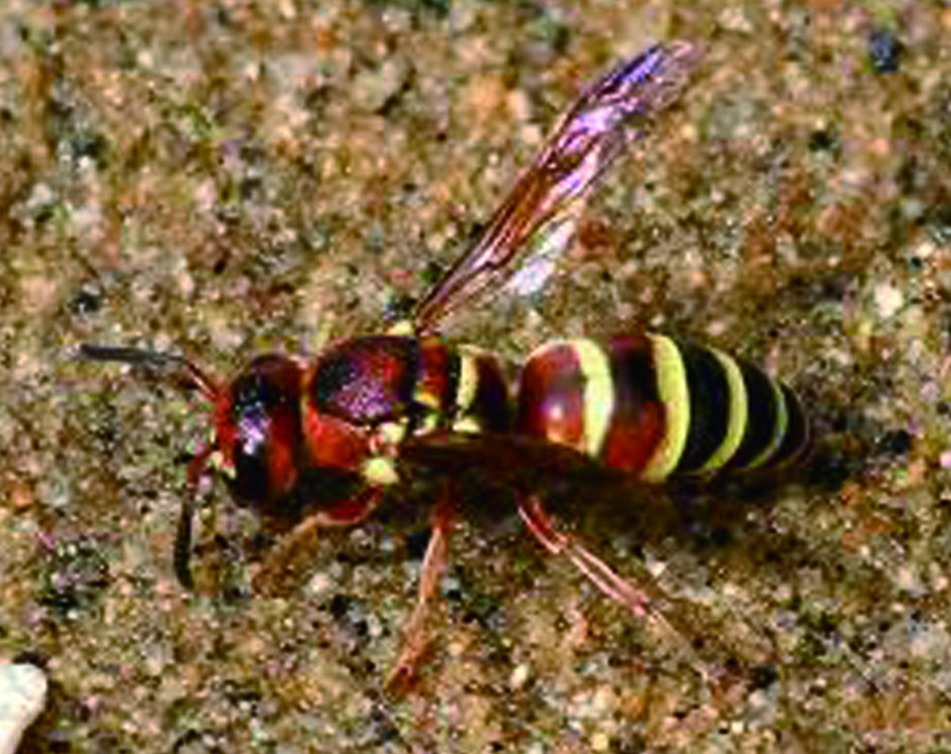 蜜蜂之中最可怕的莫過於虎頭蜂,他們不僅毒性強會引起強烈的過敏反應,且毒針可以重複使用,意味著牠有可能不斷攻擊目標。虎頭蜂名字源自於黑黃相間的外型,猶如一隻老虎般的外型, 因此得名虎頭蜂。