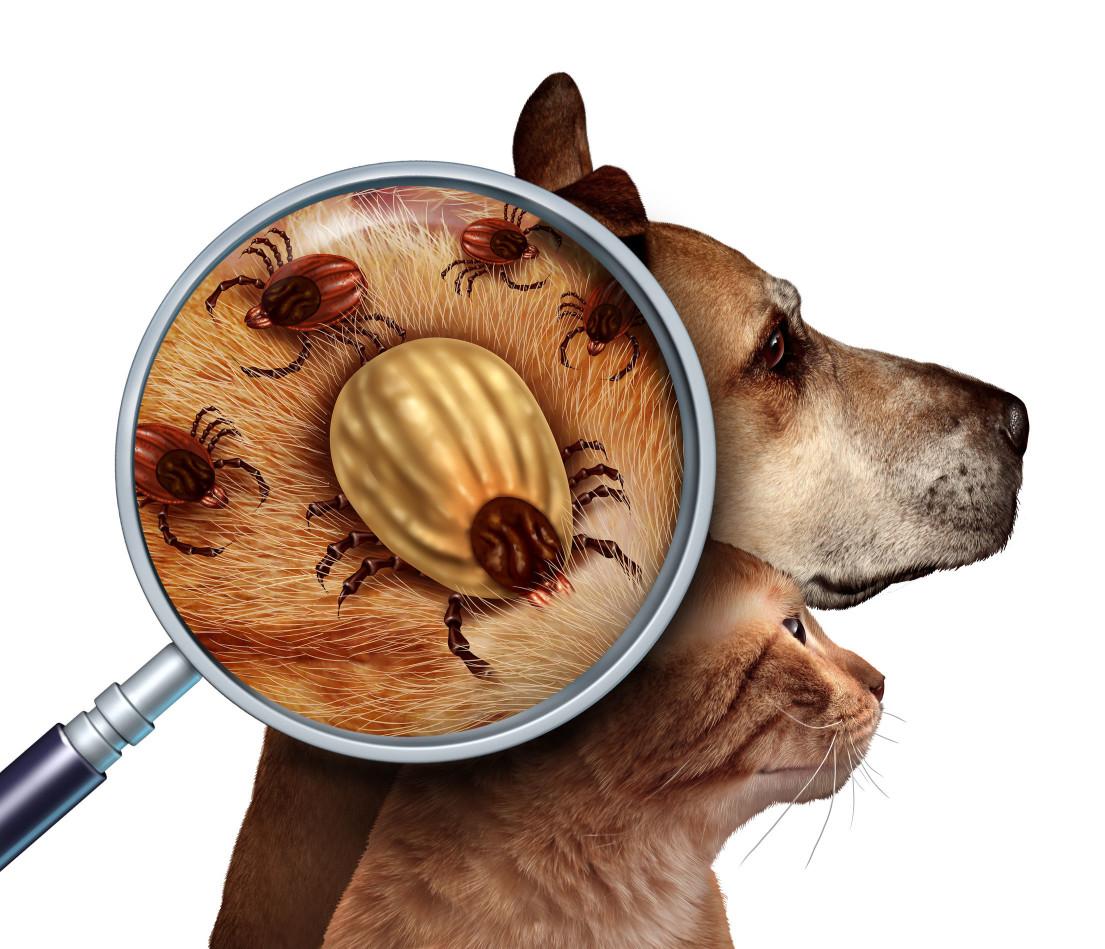 無論是自家有養毛孩,或是居家附近有流浪狗,壁蝨都可能從野外寄生到毛孩身上後,進而入侵室內。壁蝨在自然界少有天敵且繁殖力強,一次可產數百到數千粒的卵,幾天過去,在縫隙、牆角甚至地板、牆面都可見到他們的蹤影,對毛孩跟人類的健康都造成威脅