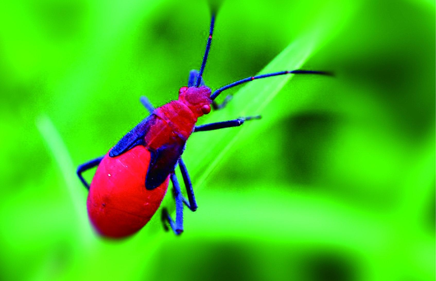 由於荔枝椿象的問題日益嚴重,大部分民眾的警覺性也越來越高,但卻造成了原生種「紅姬緣椿象」被誤殺的情形。紅姬緣椿象是外觀呈紅色的鮮豔蟲子,屁股比頭部略大一些,身軀整體呈現狹長型,有著黑色的觸角與四肢,仔細看與荔枝椿象其實很好分辨。