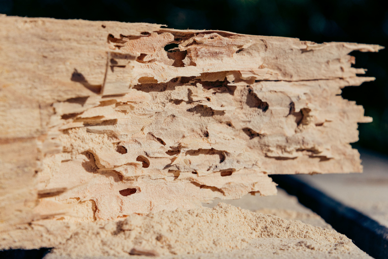 木蠹蟲會在木材內部,形成許多狹窄曲折的隧道,而影響到木頭原本的核心,並會不斷繁衍擴散