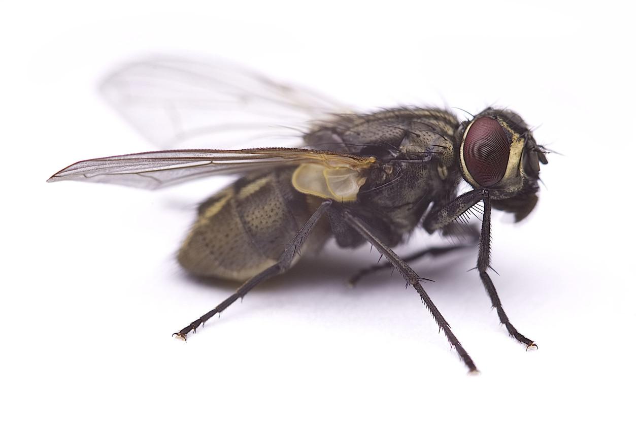 我們經常可以在汙水處,發現此類蠅類的蹤跡,我們稱它為蚤蠅,也稱為駝背蠅