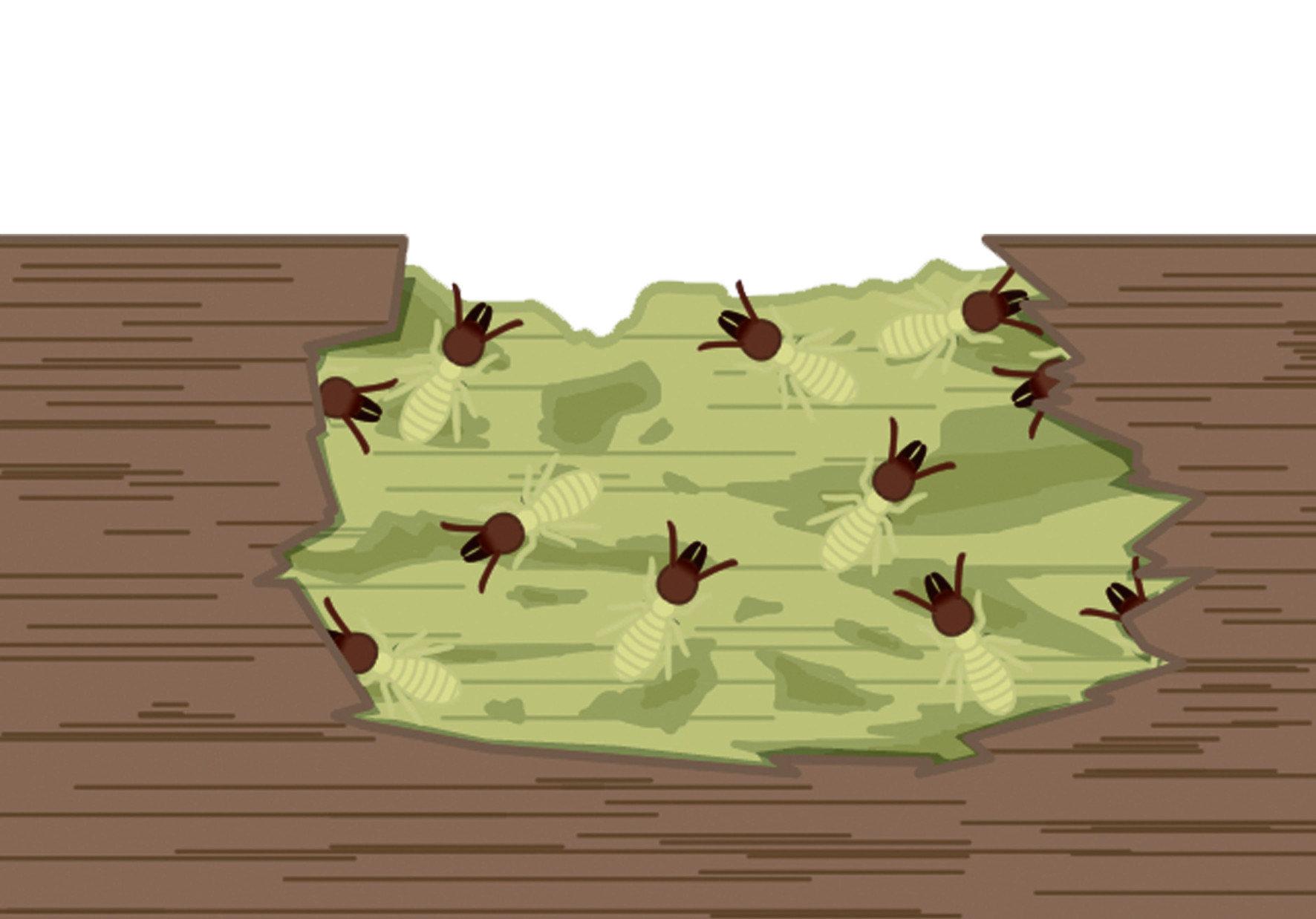 白蟻在住宅繁殖的主要原因是,住宅有豐富的木材與紙類提供白蟻取食。 白蟻喜歡潮濕的木材與紙板,住宅對於白蟻來說,可以算是一個寶庫。 白蟻通常生活在地面與樹木中,但是它是如何入侵住宅的呢 ? 一般都是經由窗戶、管道或是移入的木材以及牆壁的裂縫等中入侵。 在找尋到食物的白蟻,會散發出特有的費洛蒙,通知其他同伴有食物 於是災害就不經意的擴大了。