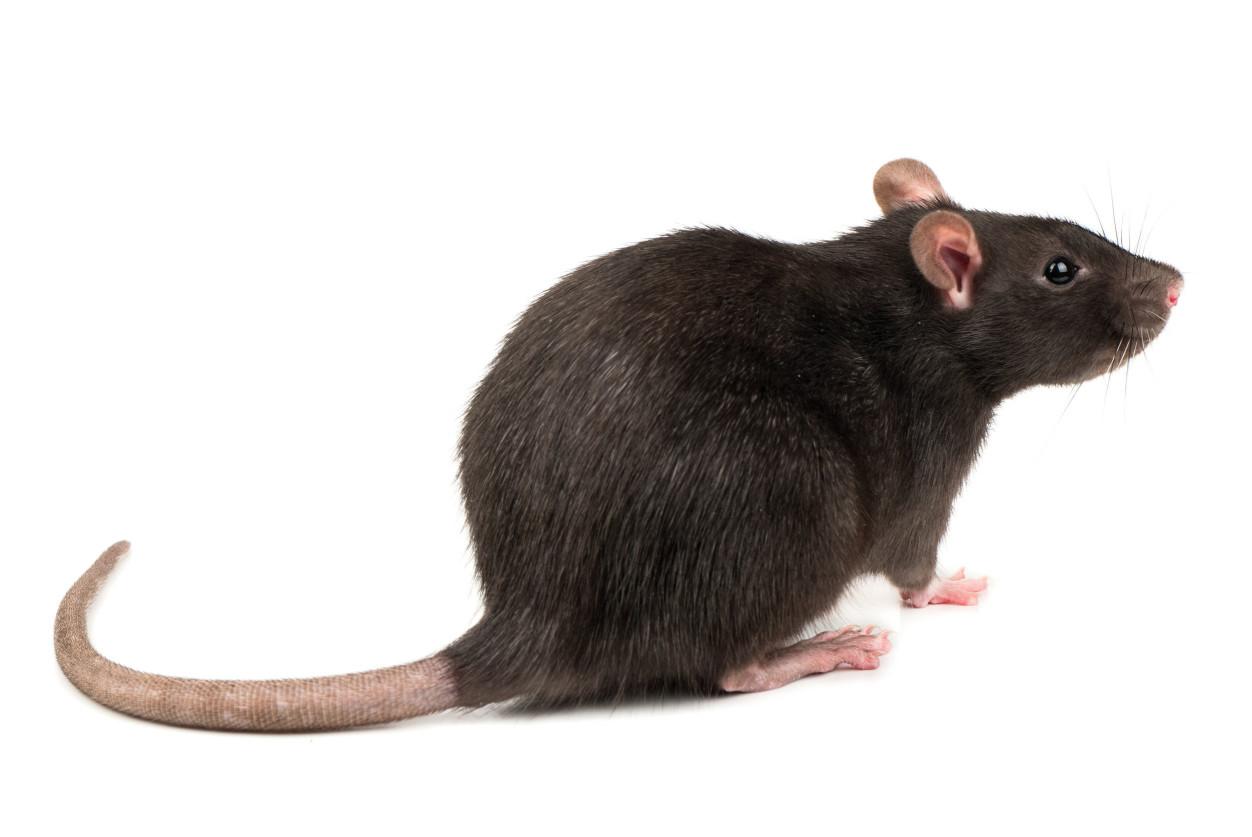 屋頂鼠在生物界的位階是「動物界/脊索動物門/哺乳綱/嚙齒目/鼠科/家鼠屬」下的物種;起源於歐洲,又名「家鼠、玄鼠、黑鼠、船鼠」。簡單判別重點為「耳大、尾長」。