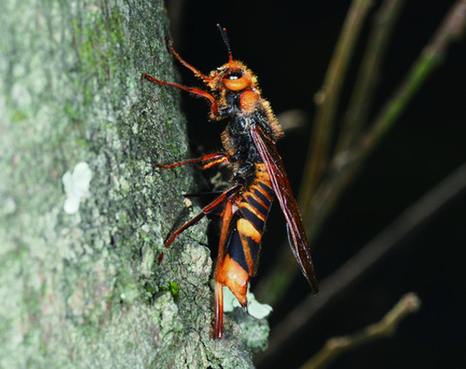 棕長腳蜂:黃長腳蜂之外還有一種更大的長腳蜂,叫做「棕長腳蜂」或「褐長腳蜂」, 體長可以來到四公分。與黃腳長蜂一樣屬於非常溫馴的蜂種,但因為極大的體型, 也時常被當成虎頭蜂遭滅盡。