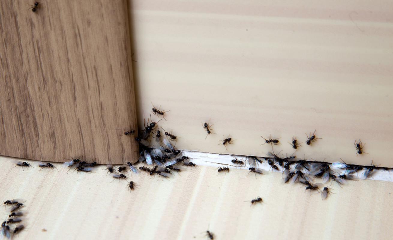 如果你在房間裡發現一隻螞蟻,你需要仔細去尋找螞蟻的來源,它是來自於屋外還是在您的房子裡有一個巢,另外,要完全清除不是一件容易處理的事情。