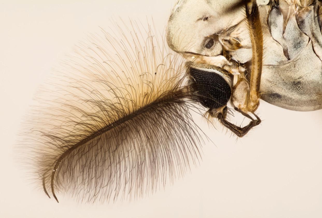 它是一種非常多樣的昆蟲,在全世界已確認有5,000種。搖蚊這個名字源於幼蟲在水中生長時會搖擺的方式。成蟲的大小和外觀與蚊子相似,但不咬人或動物,也不像蚊子那樣吸血。