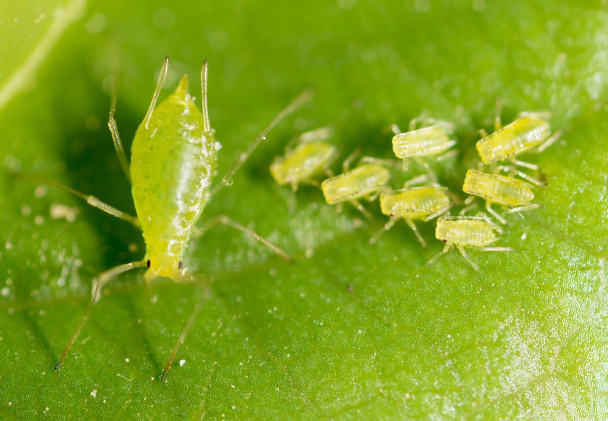 『除蚜蟲』綠色小蟲會毀了你的菜園,教你如何毀屍滅跡 !
