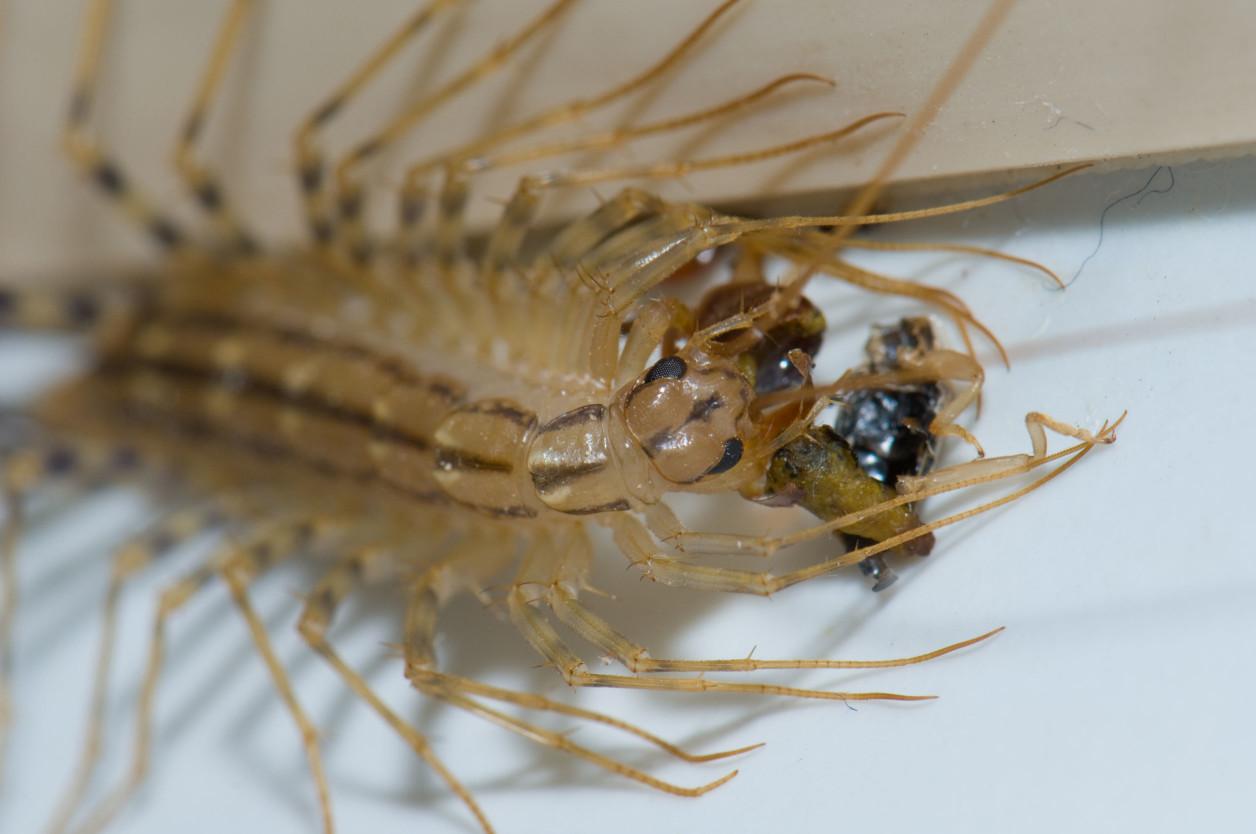 辨識成年與否的「腳數」     蚰蜒主要以蜘蛛、蟑螂、螞蟻等節肢動物為食。牠們會用前肢演化而成的毒牙攻擊獵物,將毒液注入牠們的體內將獵物徹底殺死,好愉悅地慢慢享用美食。
