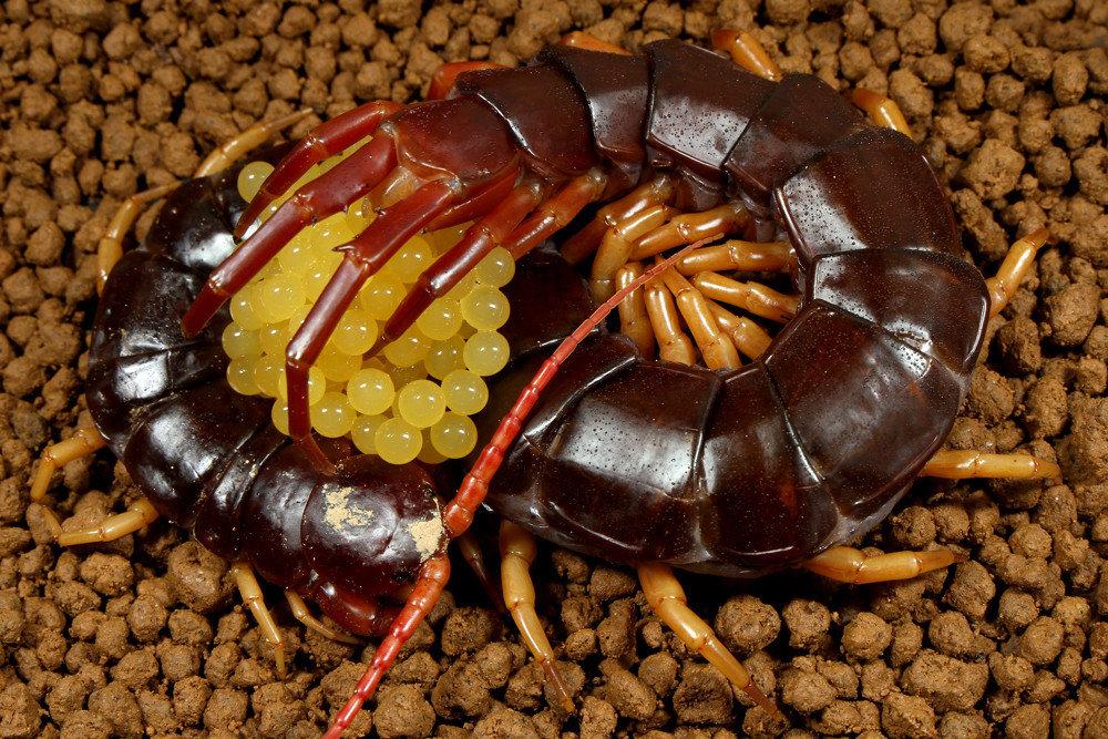 不交配也能產卵,蜈蚣的繁殖非常特別,毋須進行交配,而是由公蜈蚣將內含精子的精莢留給母蜈蚣,母蜈蚣再拾取精莢放入自己體內,少數公蜈蚣會以求偶舞吸引母蜈蚣進入精莢所在處。